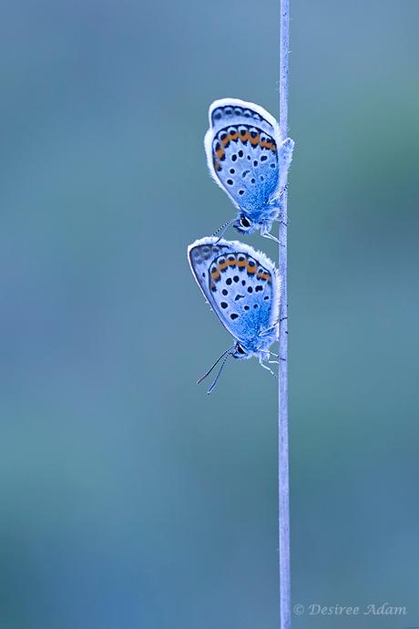 2 blauwtjes