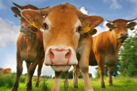 koeien (prijs)