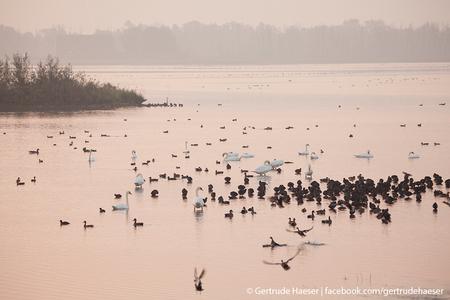 Zwanen in vroege ochtendzon - Vanmorgen in alle vroegte naar de Biesbosch geweest. Bij opkomende zon dit tafereel met een hoop vogels bij elkaar geschoten. Zelf vind ik hem heel m - foto door Haessie op 18-09-2014 - deze foto bevat: water, mist, zonsopkomst, rivier, biesbosch