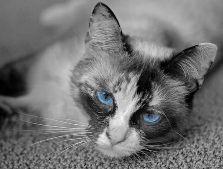 Blue eyes - sneeuwvoet met blauwe ogen - foto door b.neeleman op 25-02-2017 - deze foto bevat: poes, huisdier, kat