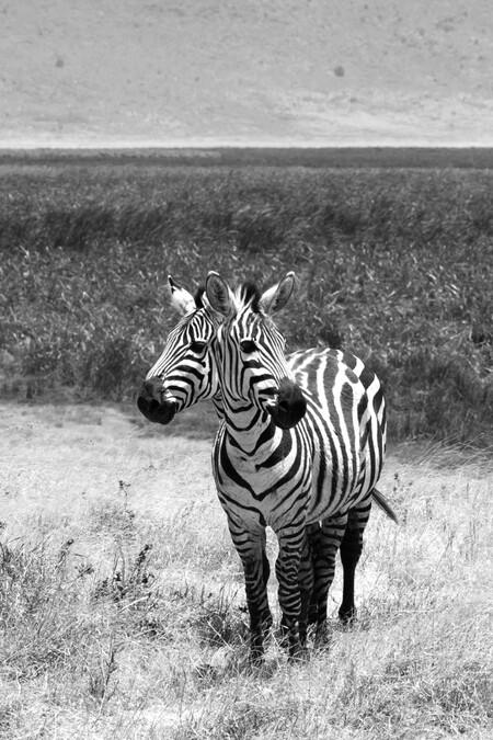 Black & White double headed Zebra - Zebra's black with white stripes are distracted for predators but those two Zebra's has a other distraction. - foto door Metselaar1984 op 04-02-2020 - deze foto bevat: zebra, black, safari, afrika, wildlife, white, zebras