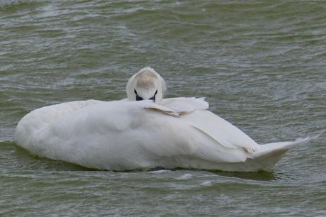 jonge zwaan op IJsselmeer bij Molkwar
