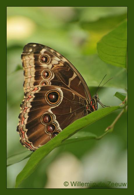 Azuurvlinder