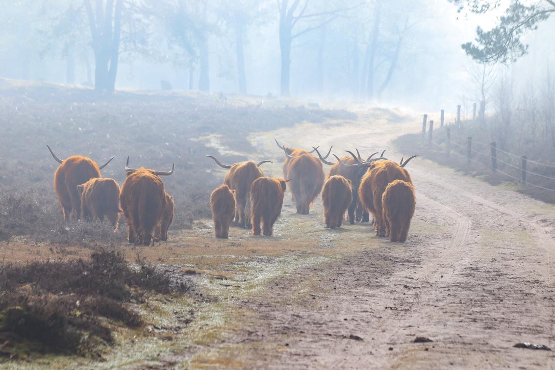 Schotse Hooglanders in de mist - - - foto door Erikvdzwan op 28-02-2021 - deze foto bevat: mist, schotse hooglanders