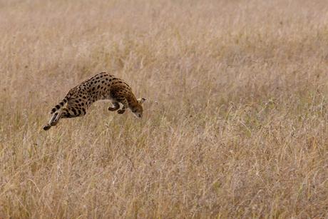Jagende serval in Serengeti