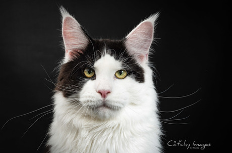 Coonation Soulweeper aka Sowy (Maine Coon)