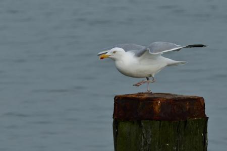 kleine stap vooruit - zilvermeeuw -adult- - foto door AnneliesV op 27-02-2021 - deze foto bevat: water, meeuw, natuur, dieren, vogel, watervogel
