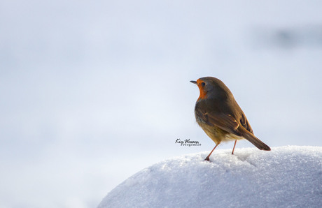 Roodborstje in de sneeuw