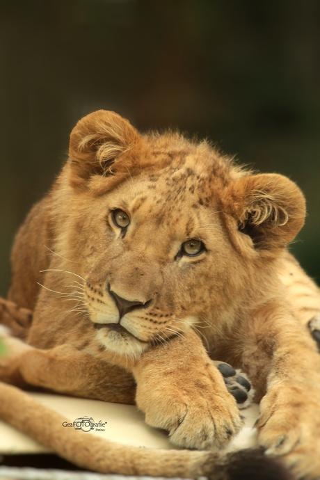 Little Lion*