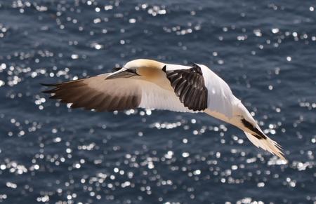 Vliegende Jan van Gent - Vliegende Jan van Gent boven de zee van Helgoland. - foto door sbos op 19-06-2011 - deze foto bevat: zee, vleugels, vogel, zeevogel, kust, jan van gent, helogland