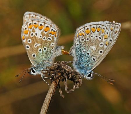 Blauwtje(?) - Ik zie regelmatig deze vlinder voorbij komen op dit forum en deze noemen jullie een blauwtje?  In de pauze tijdens mijn werk als vuilnisman ga i - foto door visser85 op 27-09-2012 - deze foto bevat: vlinder