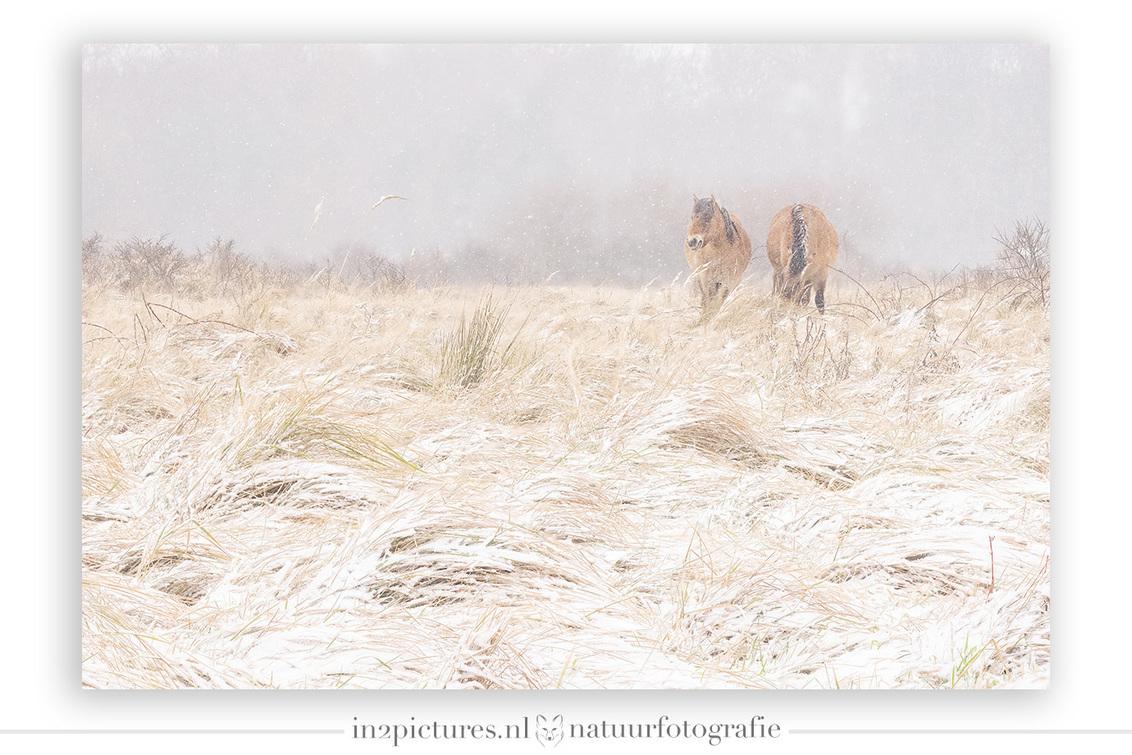 Konikpaarden in de sneeuw - Deze foto zorgde bij mij voor een jubel momentje. Dit was niet perse door de schoonheid van de foto die mij deed dansen, maar het was de razendsnelle - foto door in2picturesnature op 19-01-2021 - deze foto bevat: natuur, sneeuw, paard, dieren, landschap, scherptediepte, lentevreugd, konikpaard, focus stacking
