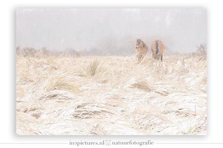 Konikpaarden in de sneeuw