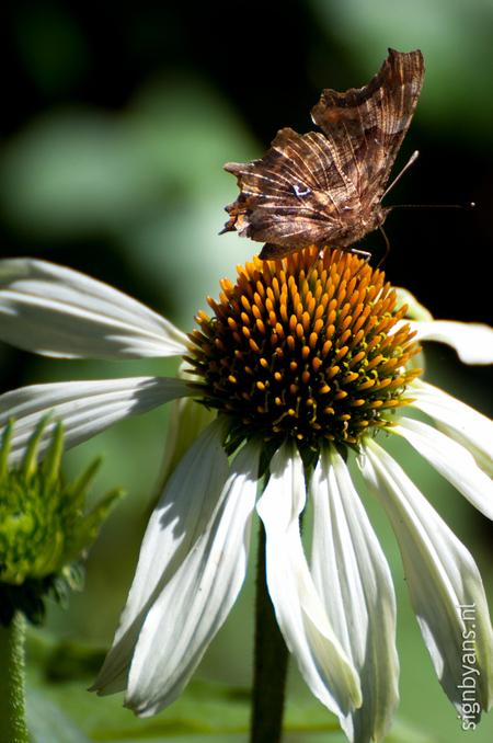 Vlinder op bloem echinaforce - Vlinder, echinaforce, roze bloem - foto door angela2308 op 10-07-2011 - deze foto bevat: roze, bloem, vlinder, echinaforce