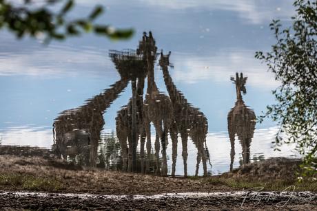 Etende giraffen in reflectie
