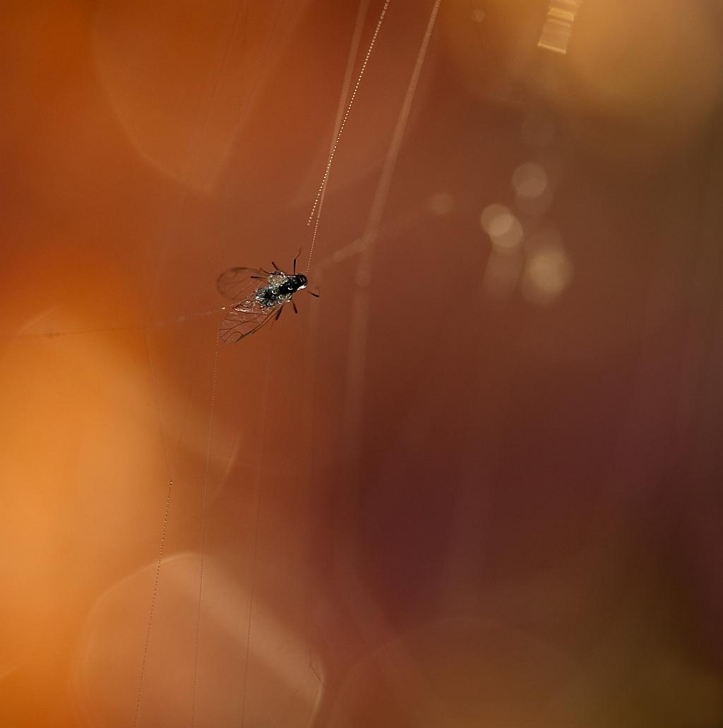 gevangen in het web - Nu maar weer eens een beestje, al is deze wel heel klein. Dit is een foto van september. Een bladluisje. Bedankt voor de fijne reacties bij m'n vori - foto door willy4 op 21-11-2011 - deze foto bevat: bladluis, tegenlicht, spinnenweb, dauw
