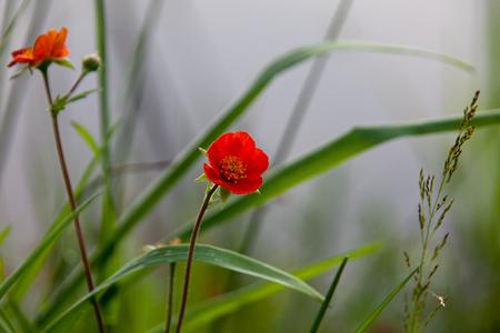 ROOD BLOEMPJE - Zomaar een klein plantje met een paar rode bloempjes aan de rand van een vijver - foto door dirka op 28-06-2011 - deze foto bevat: rood, bloem, natuur, plantje, viiver