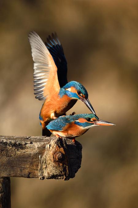 IJsvogeltjes love... - ... ik heb een haat-liefde verhouding met ijsvogeltjes... liefde, omdat het de mooiste vogeltjes van Nederlands zijn, en je hart altijd een keer over - foto door guurtje op 03-04-2016 - deze foto bevat: blauw, bruin, oranje, vogel, love, wildlife, ijsvogel, paring, ijsvogels, guurtje
