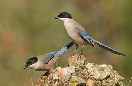 blauwe-ekster (s)
