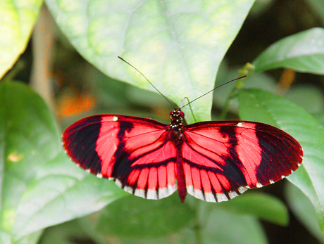 Heliconius erato (rood)