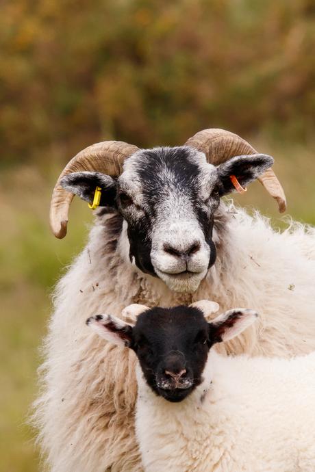 Schotse schapen