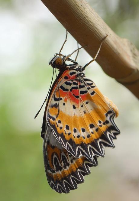 Hang vlinder