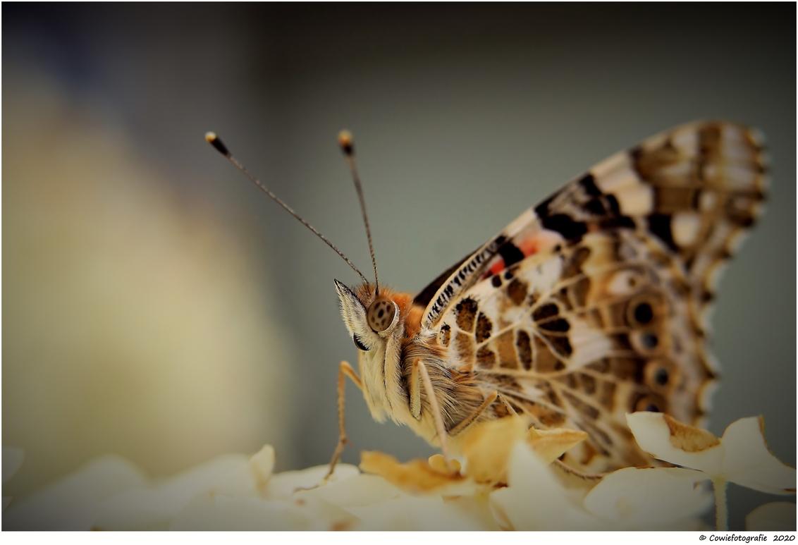 Vlinder - Alvast bedankt voor jullie reactie's  Gr, Johannes. - foto door cowiefotografie op 14-07-2020 - deze foto bevat: macro, bloem, natuur, vlinder, bruin, geel, oranje, tuin, zwart, zomer, insect, dof