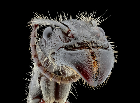 ParaponeraClavata (KogelMier)