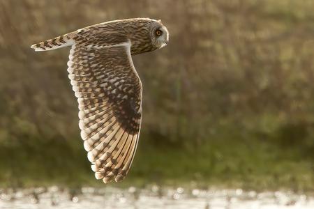 Nog een Katuil ... - Nog een Katuil ...  Omdat ze in het noorden van ons land de Velduil zo mooi aanduiden met 'Katuil' , nog een 'Katoele'  in vlucht... :-)  (Friesl - foto door willemdewolf op 27-02-2020 - deze foto bevat: groen, water, natuur, winter, vogel, nederland