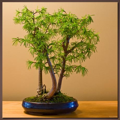 Bonsai 1 nu met blad