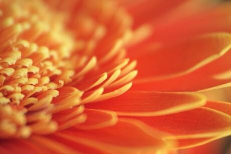 Oranje gerbera.