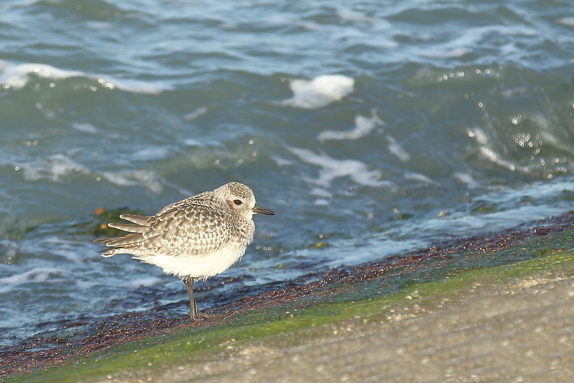 de kust is veilig - zilverplevier - foto door AnneliesV op 30-03-2021 - deze foto bevat: water, natuur, dieren, vogel, watervogel