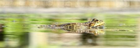 beroemd - dat moet deze kikker nu wel zijn hij was één van de sterren op de zoomdag in de botanische tuin...welwillend als een echte ster poseerde deze voortdu - foto door dylano op 24-05-2014 - deze foto bevat: kikker, dieren