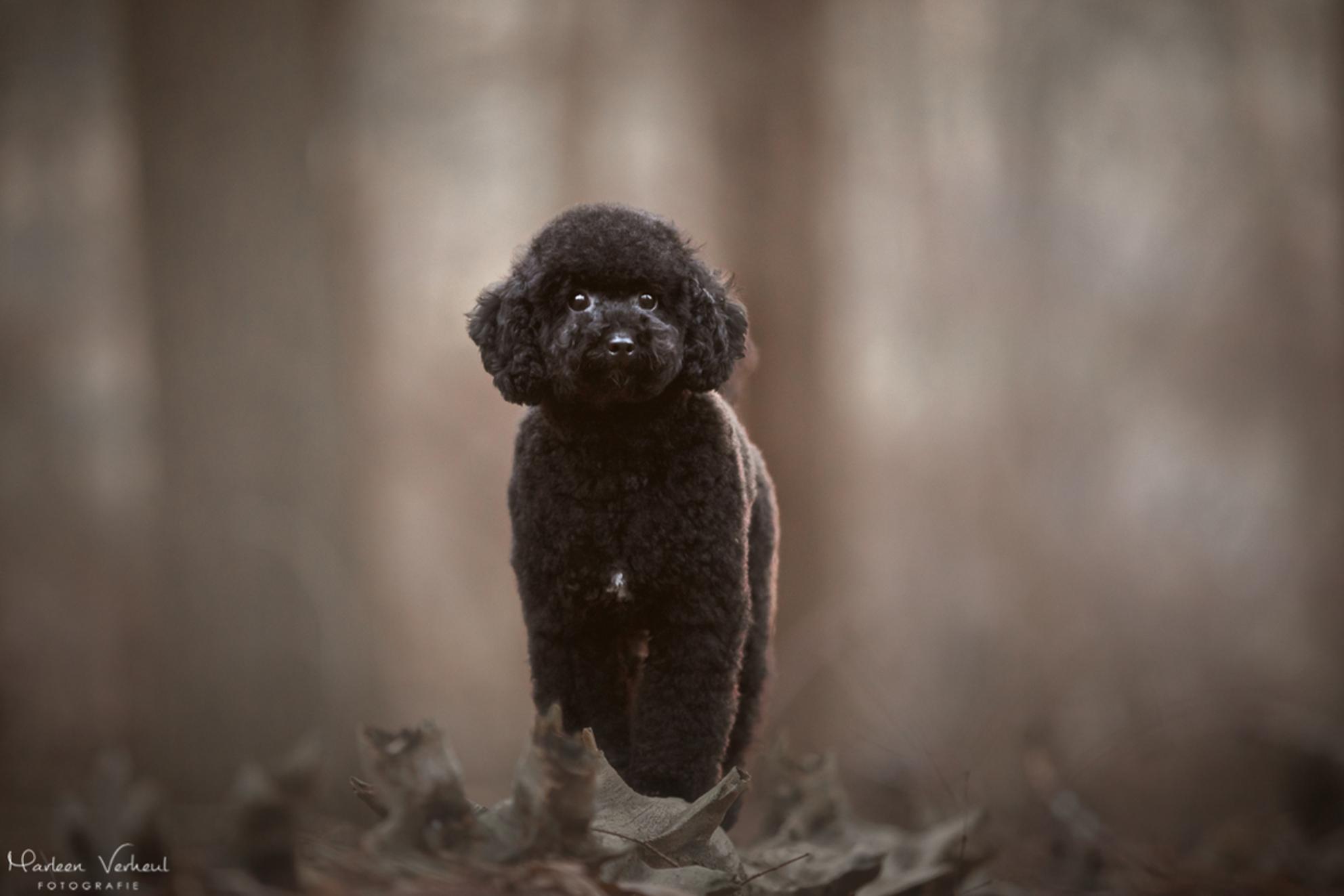 Macey - Toy-poedel Maken - foto door MarleenVerheulFotografie op 30-11-2020 - deze foto bevat: dieren, huisdier, hond, hondenfotografie, hondenfotograaf
