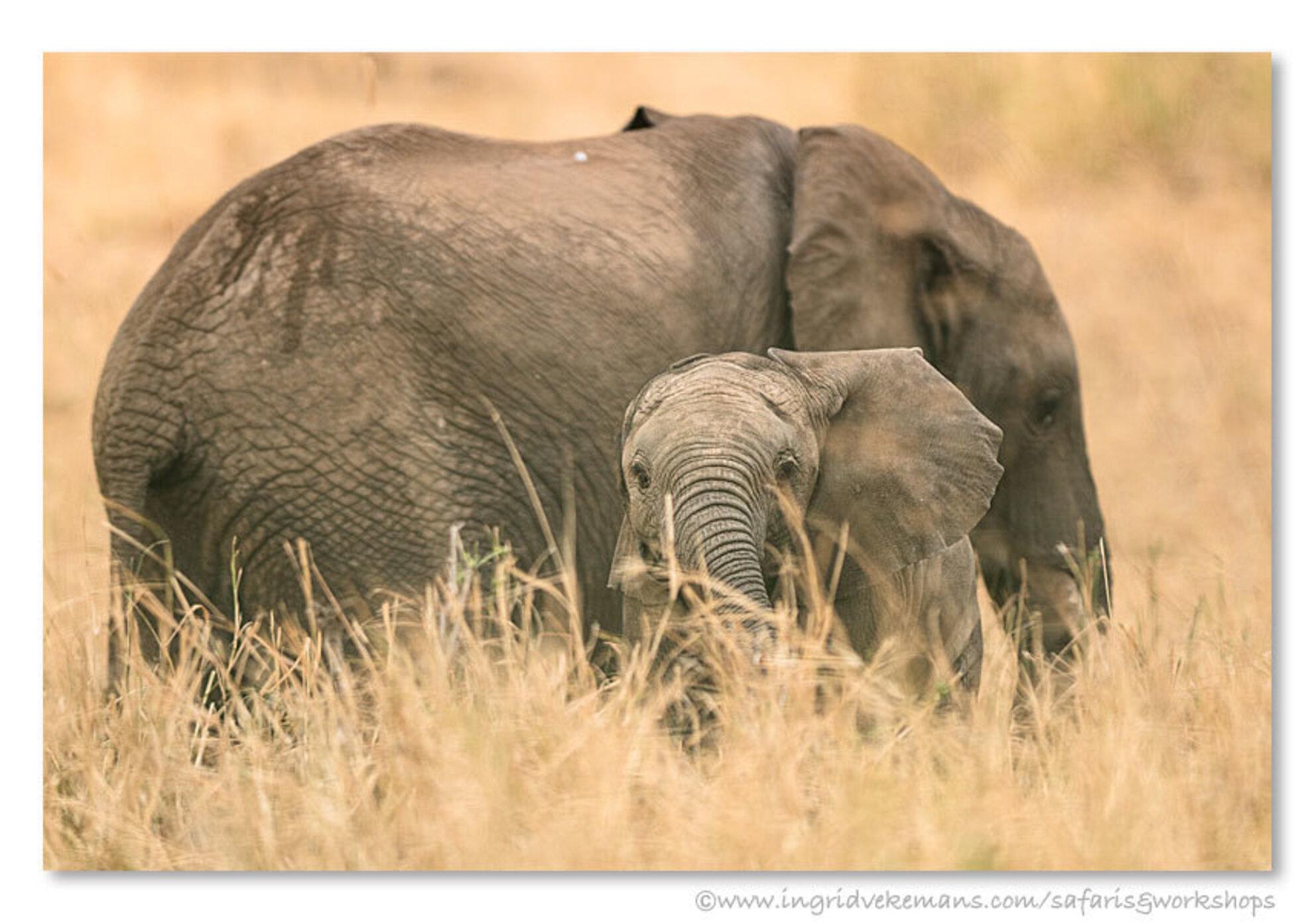 Rebel Rebel - Speelse baby-olifant in Tarangire National Park. Tarangire is, behalve dat het een zeer pittoresk park is, ook bekend voor zijn grote populatie olifa - foto door IngridVekemans op 13-02-2016 - deze foto bevat: natuur, dieren, safari, olifant, baby, afrika, wildlife, jong, tanzania, cursus, workshop, tarangire, fotosafari