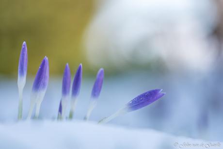 Krokussen in de sneeuw