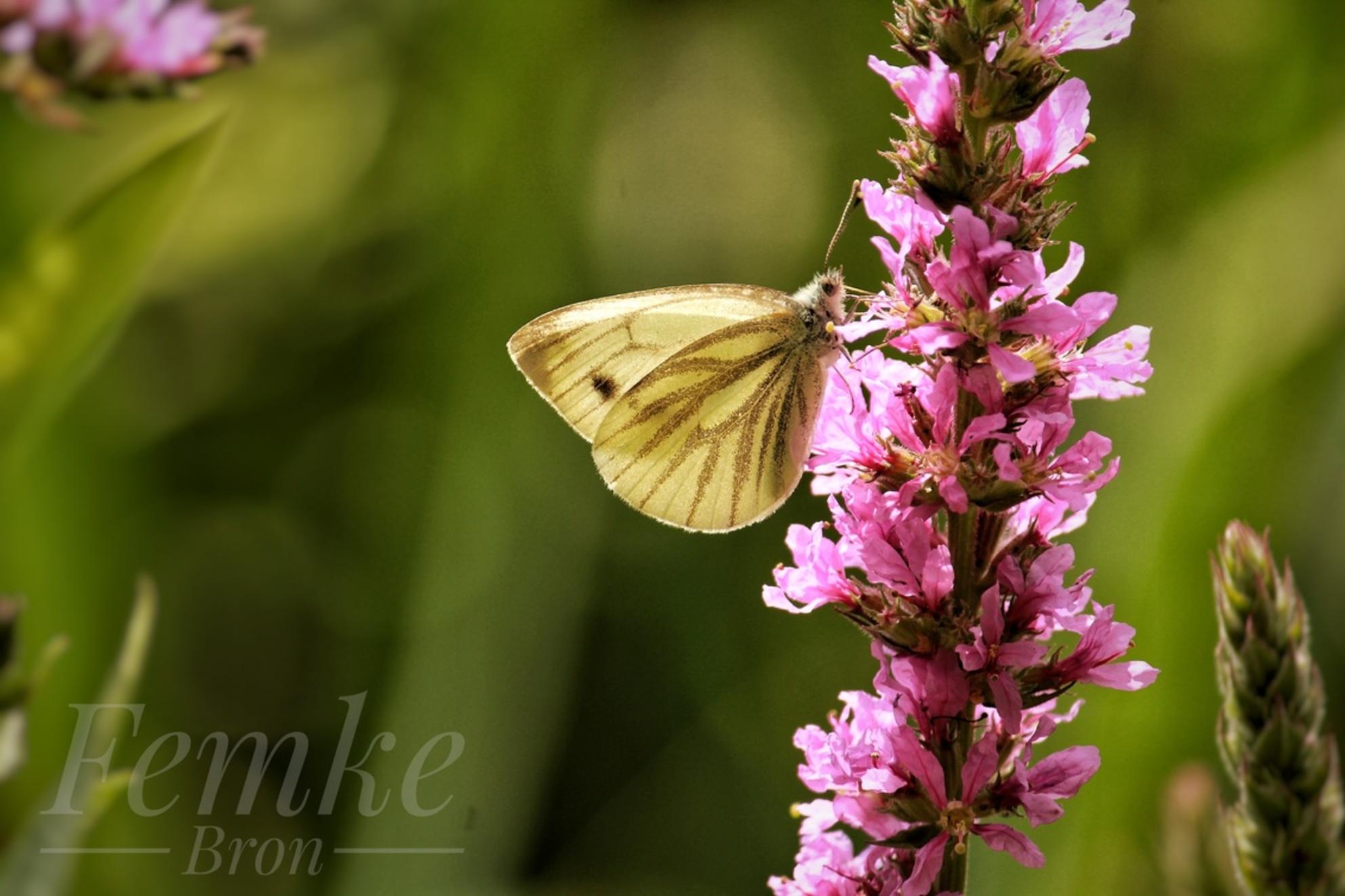 Geaderd witje - - - foto door FemkeNB op 14-01-2021 - deze foto bevat: groen, paars, wit, zon, lente, natuur, vlinder, tuin, zomer, insect, vlindertuin, bokeh - Deze foto mag gebruikt worden in een Zoom.nl publicatie