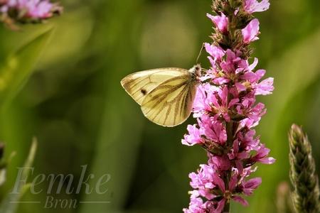 Geaderd witje - - - foto door FemkeNB op 14-01-2021 - deze foto bevat: groen, paars, wit, zon, lente, natuur, vlinder, tuin, zomer, insect, vlindertuin, bokeh