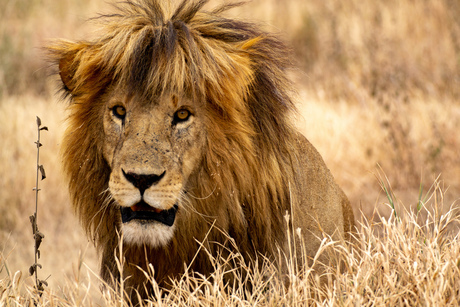 King of the Serengeti