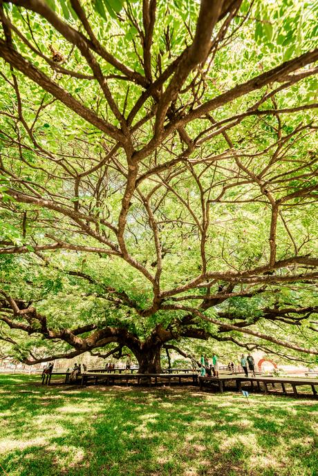 Een boom zó groots.