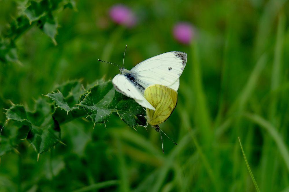 Love is the Air - Verliefd zijn is ook mooi, mag je niet storen. Maar kon het niet laten.  Allen bedankt voor alles en gr jenny... - foto door jenny42 op 15-08-2017 - deze foto bevat: groen, wit, natuur, vlinder, paar, dieren, verliefd, witjes, paars.