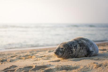 Zeehond aan het strand