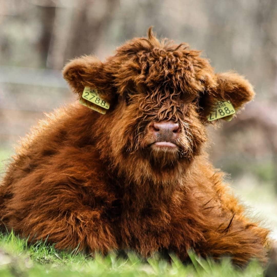 """Weer """"z'n fotograaf"""" - Schotse Hooglander kalf  bekijkt het allemaal maar is rustig.. - foto door Erikvdzwan op 13-04-2021 - locatie: Wezepsche Heide, 8091 Wezep, Nederland - deze foto bevat: oog, bizon, gewervelde, werkend dier, stier, gras, carnivoor, terrestrische dieren, hoorn, natuurlijk landschap"""