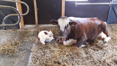 jippie geboorte - even rustig liggen bij moeders, na al het drinken, rennen, huppelen, ontdekken, snuffelen  - foto door RolandvanTol op 10-04-2021 - locatie: Burgemeester Bruins Slotsingel 11, 2403 NC Alphen aan den Rijn, Nederland - deze foto bevat: koe, kalf, geboorte, zoogdier, werkend dier, fawn, gras, terrestrische dieren, snuit, landschap, melkkoe, vee, er zijn