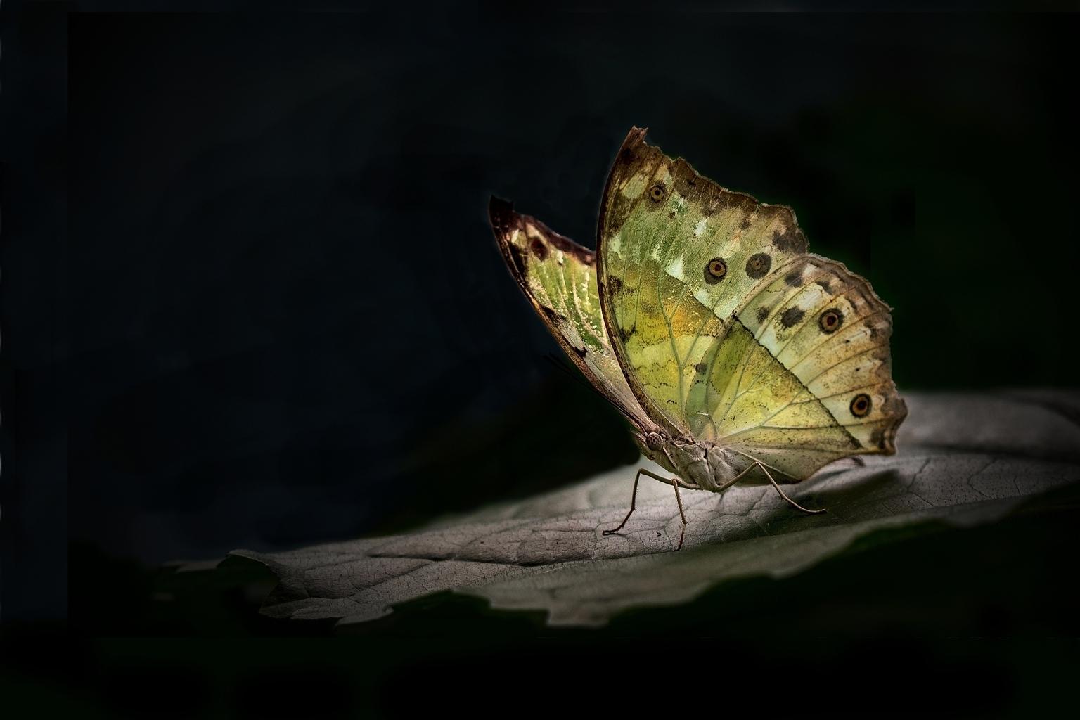 Vlinder - Vlinder met vignet - foto door starthier op 15-04-2021 - locatie: Gemert, Nederland - deze foto bevat: bestuiver, insect, vlinder, geleedpotigen, fabriek, motten en vlinders, vleugel, ongewervelden, macrofotografie, kunst