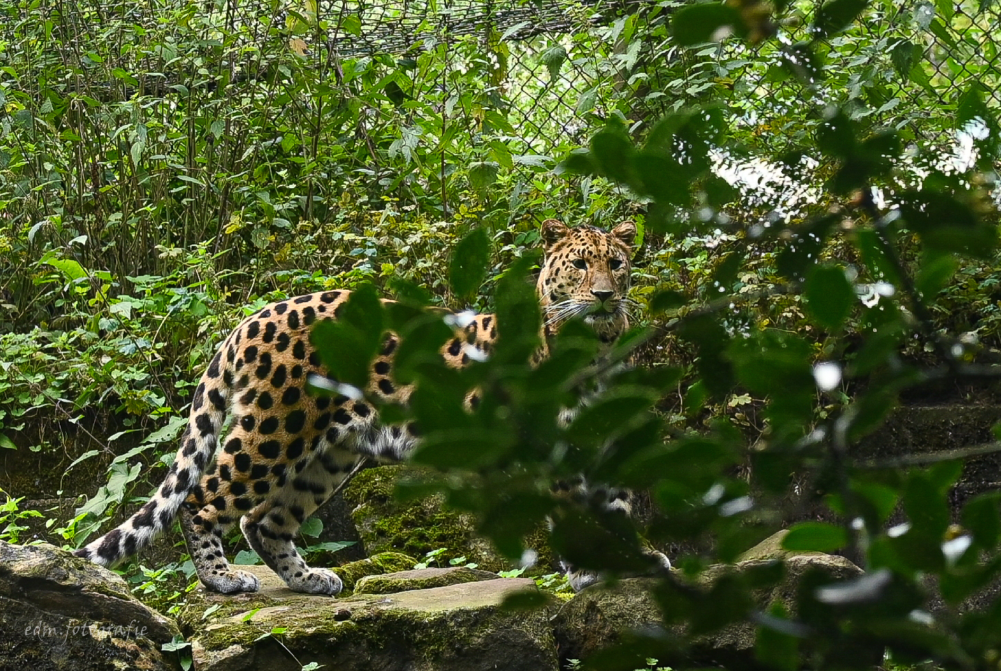 Luipaard - Deze foto is al een poosje geleden gemaakt, ik had net mijn nieuwe Nikon Z6 en weinig ervaring met fotograferen.  - foto door erna.dijkstra330 op 13-04-2021 - locatie: Blijdorp, Rotterdam, Nederland - deze foto bevat: afrikaanse luipaard, felidae, carnivoor, kleine tot middelgrote katten, luipaard, terrestrische plant, jachtluipaard, organisme, grote katten, bakkebaarden