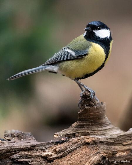 Koolmees - Koolmees  - foto door barthendrix op 17-04-2021 - locatie: 't Gooi - deze foto bevat: koolmees, vogels, natuur, vogel, organisme, hout, bek, aanpassing, zangvogel, veer, neerstekende vogel, staart, takje