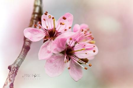 Nooit genoeg... - Nooit genoeg roze bloesem...  Dank voor de reacties bij de vorige upload. De Zoom site werkt niet optimaal mee, hoop dat dat snel beter wordt... 🙏 - foto door PinkRosePictures op 17-04-2021 - locatie: Amersfoort, Nederland - deze foto bevat: bloesem, roze, bloemen, pink, pinkrosepictures36, natuur, macro, dof, bloem, fabriek, bloemblaadje, afdeling, takje, boom, roze, bloeiende plant, bloesem, terrestrische plant