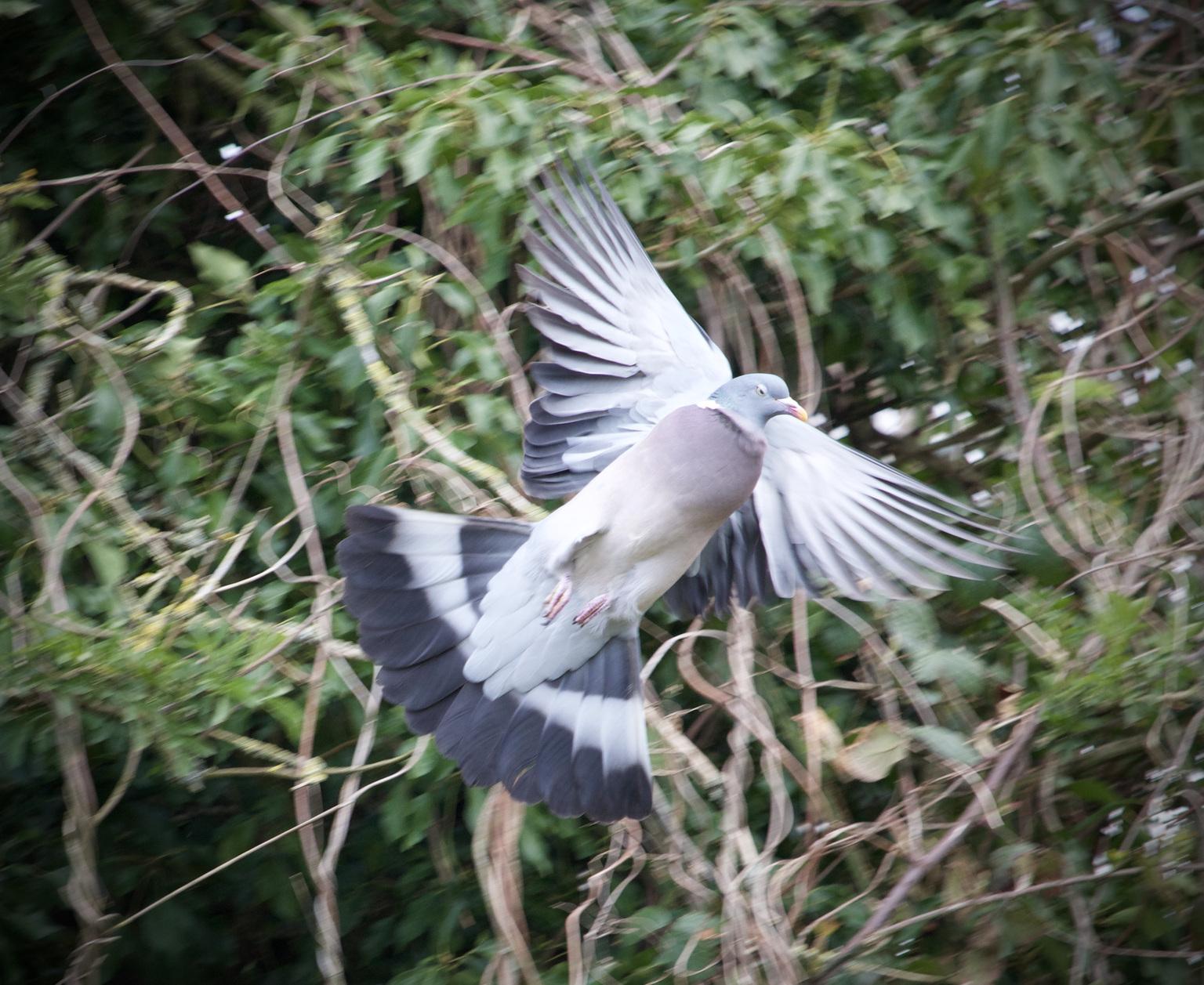 vliegende duif - wegvliegende duif - foto door Aad-Tomaat op 14-04-2021 - deze foto bevat: vogel, bek, forsters stern, takje, veer, vleugel, rennen, stern, staart, zeevogel