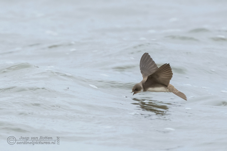 Jagende oeverzwaluw